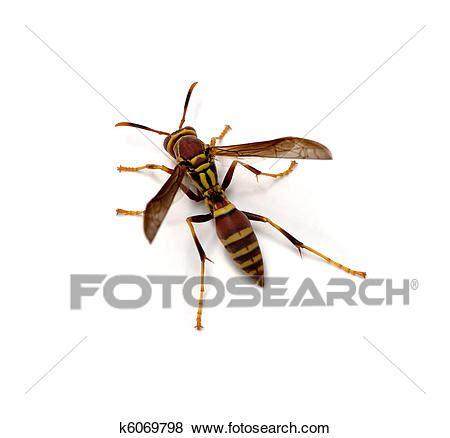 Brown wasps essay
